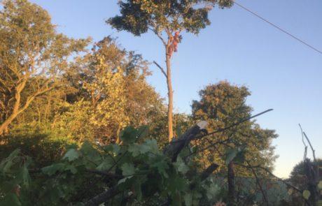 Topkapning igang, skovteam medarbejder klatrer i toppen af højt træ