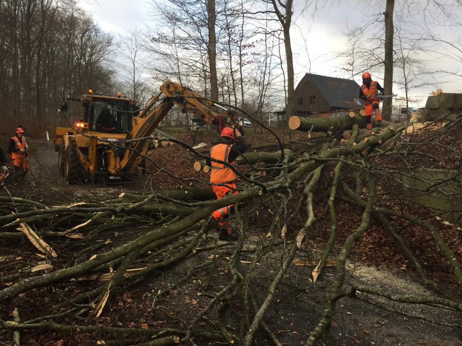 Skovarbejdere ved at fælde mange træer